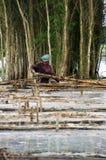 People harvest indingo tree stock image