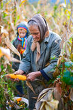 People harvesting corn Stock Photos