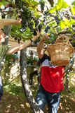 People harvesting grapes in the vineyard of the Madeira Wine Company at Madeira Wine Festival in Estreito de Camara de Lobos, Mad Royalty Free Stock Image