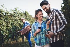 People harvesting grapes at winegrower vineyard. Working people harvesting grapes at winegrower vineyard Stock Photography