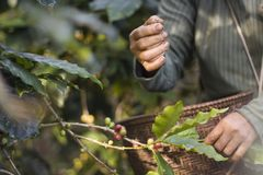 People are harvesting. Harvesting coffee beans in farm Stock Image
