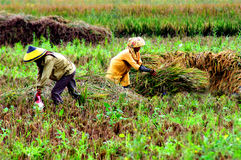 People harvesting a paddy field Stock Photo