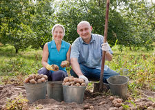People harvesting potatoes Stock Images