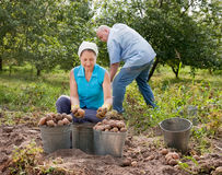 People harvesting potatoes in field Royalty Free Stock Photography