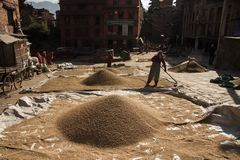 People harvesting rice bhaktapur kathmandu Royalty Free Stock Image