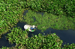 People harvesting vegetable in polluted water Royalty Free Stock Photos
