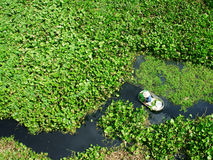 People harvesting vegetable in polluted water Royalty Free Stock Photo