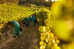 People harvesting in vineyard. People working in vineyard from making wine. Workers harvesting grapes from rows of vines in grape farm Stock Photography