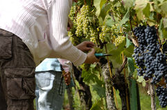 People harvesting wine grapes Stock Images