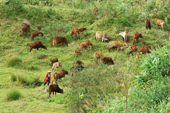 People herd a flock of oxen (cows) on grassland Stock Photography