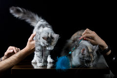 People holding two cats with hand. On black background royalty free stock images