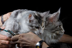 People holding two cats with hand. On black background stock images