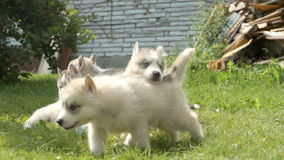 People holds a husky puppies and then they run away on a grass stock video