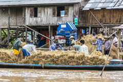 People at inle lake thresh the corn Royalty Free Stock Photography