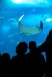 People looking at Manta Ray in aquarium. Stock Photography