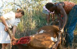 People moving a dead cow in rural South Africa Stock Images
