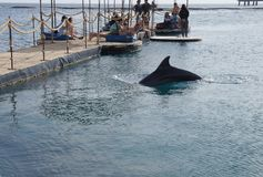 People observes swimming dolphin, Eilat royalty free stock photography