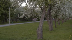 People in park with blooming apple trees. Unidentified senior people walking in green park, blooming apple trees in foreground stock video footage