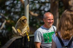 People photographing with Gibraltar monkey royalty free stock images