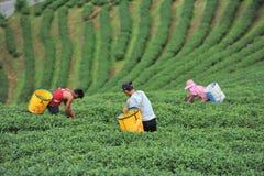 People pick tea Stock Photos