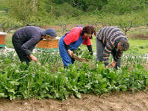People picking chard. Team work in a field. Three people - best friends - man and two woman together working  in the field - picking chard. Horizontal color Royalty Free Stock Image