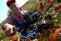 People picking grapes in Plovdiv Stock Photo