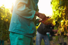 People picking grapes during wine harvest in vineyard. Workers working in vineyard cutting grapes from vines. People picking grapes during wine harvest in Royalty Free Stock Photography