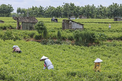 People picking Jasmine Flowers in a Jasmine Plantation in HengXian, the Chinese capital of Jasmine royalty free stock photography