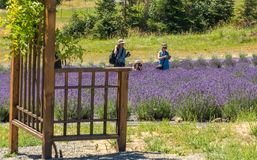 People picking lavender at farm Royalty Free Stock Photos