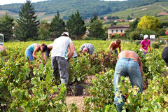 People picking up grape harvest in vineyard of France Stock Photo