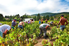 People picking up grape harvest in vineyard of France Royalty Free Stock Images