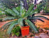 people plant a palm tree royalty free stock photos