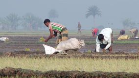 People plant rice at the rice field in Jessore, Bangladesh. JESSORE, BANGLADESH – FEBRUARY 19, 2014: Unidentified people plant rice at the rice field on stock video
