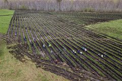 People plant trees on the field in beds dug royalty free stock photo