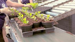People plant young plants in pots, people plant plants in pots on a conveyor belt. Automated line in the greenhouse for growing flowers. Conveyor in a flower stock video