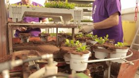 People plant young plants in pots, people plant plants in pots on a conveyor belt. Automated line in the greenhouse for growing flowers. Conveyor in a flower stock footage