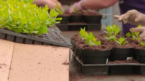 People planted plants in pots on the conveyor, plant planted hands close-up. Conveyor in the greenhouse.  stock video