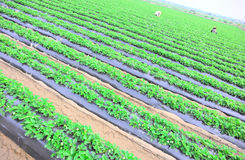 People planting at strawberry field Royalty Free Stock Photos
