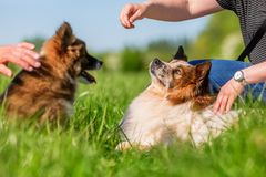 Free People Play With Elo Dogs On A Meadow Stock Image - 119502231