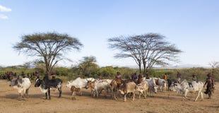 People prepare bulls for bull jumping ceremony. Turmi, Omo Valley, Ethiopia.