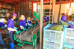 People processing lavender of the Tomita Farm in Hokkaido Royalty Free Stock Image