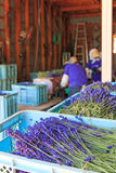 People processing lavender of the Tomita Farm in Hokkaido Royalty Free Stock Photos