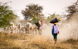 People pushing cows to home at Mingun village in Mandalay, Myanmar Stock Photography