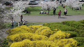 People relax near cherry tree and forsythia flower bush in park stock video footage
