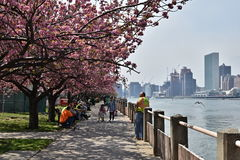 People relaxing under blooming cherry trees. New York City, USA - April 22, 2016: People relaxing under blooming cherry trees on Roosevelt Island in New York Stock Photo