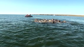 People in rubber boat near group of walruses in water of Arctic on New Earth. stock footage