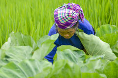People of Sa Pa, Vietnam. People of Sa Pa in Vietnam. Old woman of the Black Hmong ethic minority people working in her garden in the mountains of Sa Pa Royalty Free Stock Image