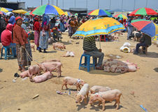 People sale pigs Royalty Free Stock Photo