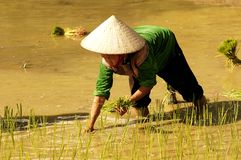 People of Sapa in Vietnam. Woman with a conical hat working on the rice fields Royalty Free Stock Image