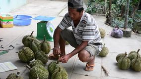 People selling durian fruits. People harvest durian fruits in Mekong Delta, southern Vietnam. In-season durians can be found in mainstream Japanese supermarkets stock footage